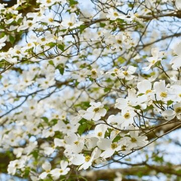 Dogwood Tree - Android, iPhone, Desktop HD Backgrounds / Wallpapers (1080p, 4k)